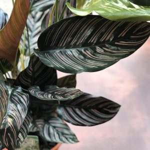 Pinstripe calathea